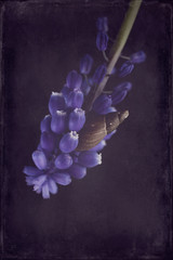 Snail on Muscari