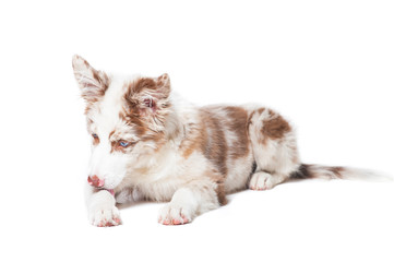 Red merle border collie puppy, portrait on white background