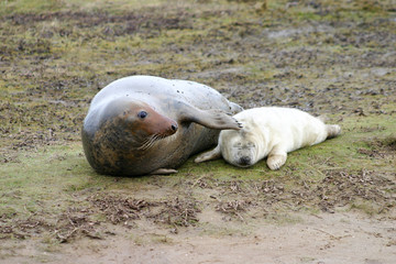 Female Grey Seal and Pup