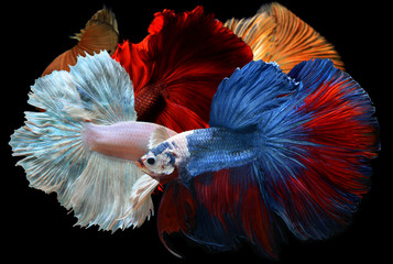 Mixed colorful fancy betta .