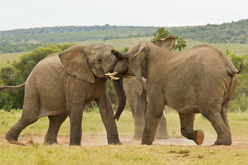 Two African elephants playing at a water hole