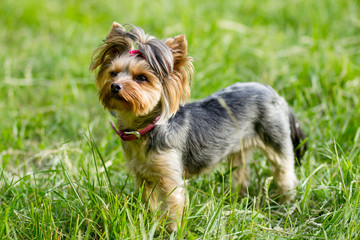 Close up portrait of pretty sweetl little dog Yorkshire terrier
