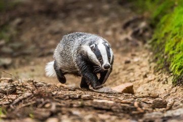 Badger in forest creek. European badgerforest swimming in the water, animal in the nature forest habitat, Germany, central Europe. Wildlife scene from nature. Mammal in the water. (Meles meles)