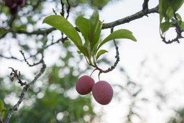 Rote Mirabelle am Baum bereit zum ernten