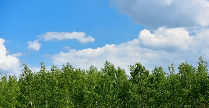 Top of birch trees and sky with clouds