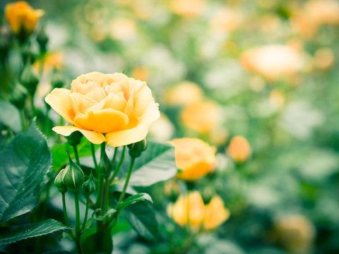 summer  yellow rose flower