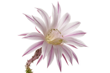 Beautiful soft pink cactus flower, isolated on white background