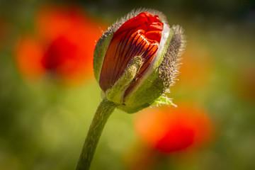 Red orange poppies growing in meadow