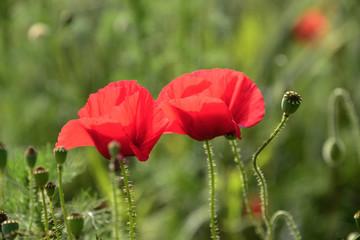 Mohn, Blume, Natur, Rot, Himmel, Zwei
