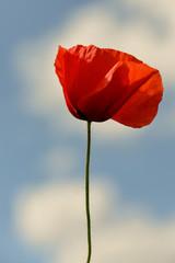 Mohn, Blume, Natur, Rot, Himmel,