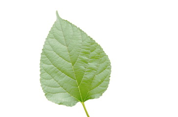 mulberry fruit leaf texture on white background