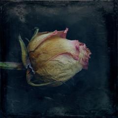 Rose, dry