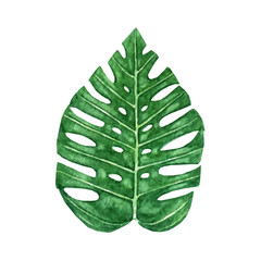 Hand drawn watercolor tropical monstera leaf isolated on the white background. Vector.