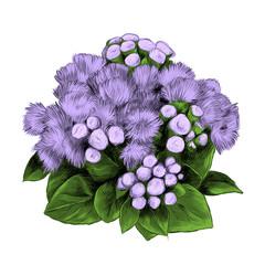 the flower Bush bouquet ageratum sketch vector graphics color picture