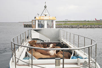 Cows on a ferry boat