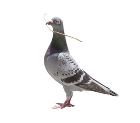 pigeon bird with dry grass leaves in bill for concept home built for future family