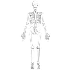Vector image of human skeleton.