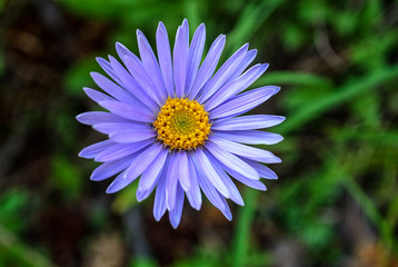 Beautiful purple daisy