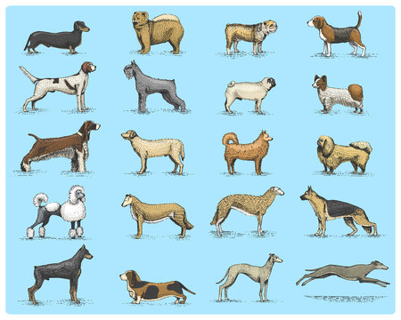 dog breeds engraved, hand drawn vector illustration in woodcut scratchboard style, vintage drawing species. pug and setter, poodle with spitz, springer spaniel whippet hound doberman, shepherd.