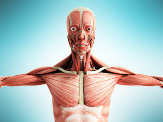 Human Muscle Anatomy 3d render on blue front