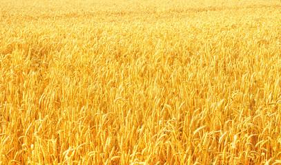 Fotoväggar - Weizenfeld in der Abendsonne