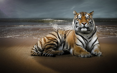 Photo sur Aluminium Tigre Tigre sur une plage