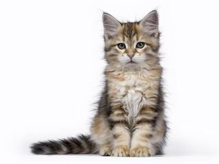 Black tabby Siberian Forest cat / kitten sitting isolated on white background facing camera