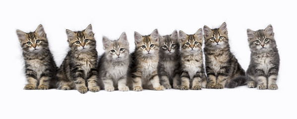 Row of eight Siberian Forest cat / kitten sitting isolated on white background facing camera