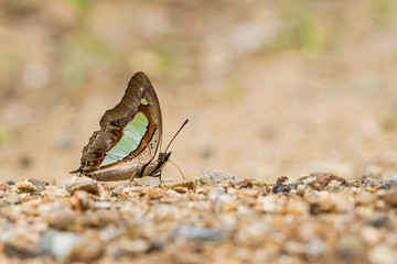 Beauty butterfly resting on ground
