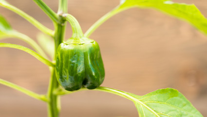 Potted Green Pepper Plant Round Food Vegetable