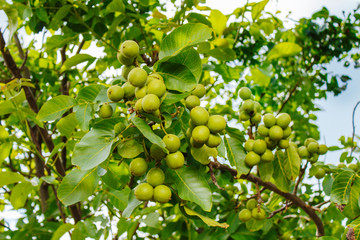 Nut tree with fruits