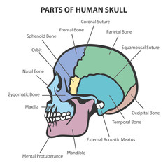 SKULL ANATOMY VECTOR