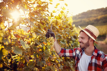 young man working in vineyard picking up ripe grapes.