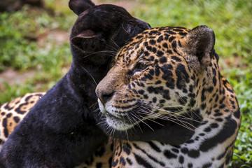 Mom Jaguar and black cub