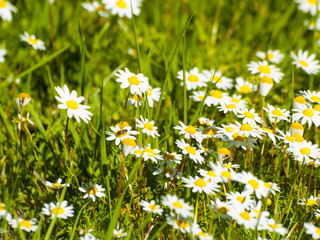 A large group of daisies on a meadow at springtime