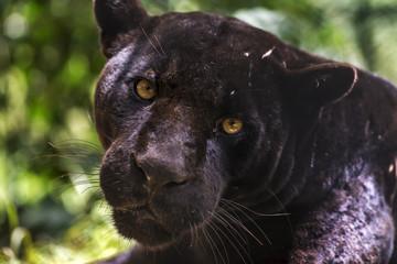 Foto auf Gartenposter Panther Black jaguar