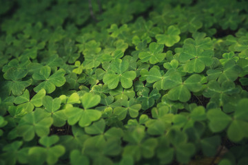 Clovers on the forest floor.