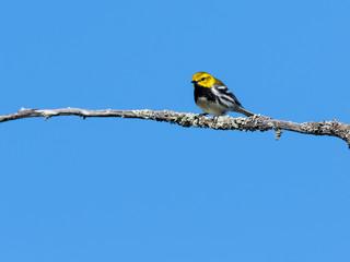 Black-throated Green Warbler on Blue Sky