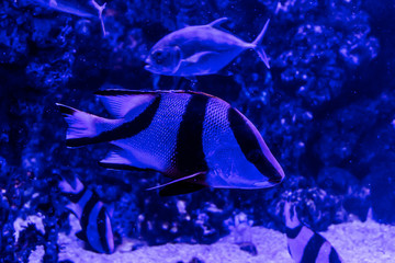 Fish, living among the corals in the tropical seas, in an aquarium with sea water. A beautiful image for children, artists and web designers.