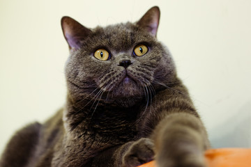 Beautiful portrait of a British cat gray color