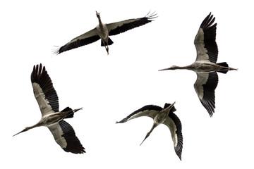 flying Open-billed stork, Asian openbill isolated on white background