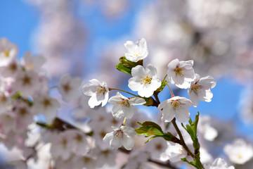 青空をバックにかわいい桜