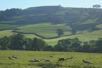 Wall Mural - Sheep graze on a farmland in Blackdown Hill, East Devon