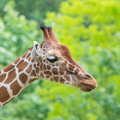 Giraffe, funny face, profile