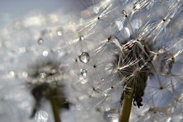 Macro dandelion whit morning dew
