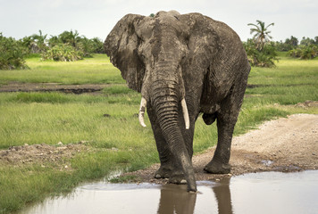 Elephant male walks to the watering