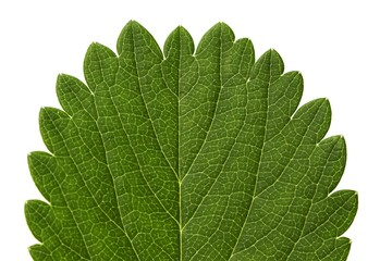 Strawberry leaf macro pattern   isolated on white background