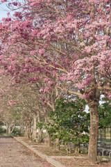 Beautiful blooming pink flower of Tabebuia heterophylla are falling.