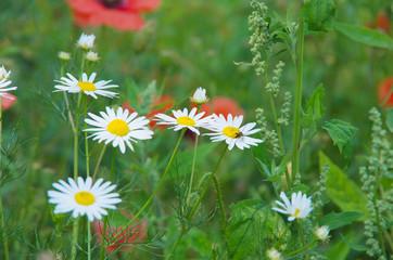 Wall Mural - field of daisy flowers