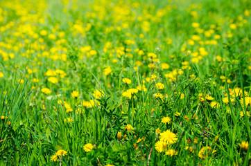 Wall Mural - Dandelion on a green meadow